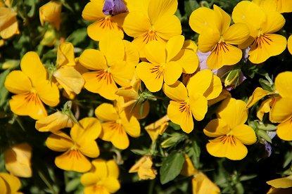 蝶が群れているような黄色いビオラB downsize