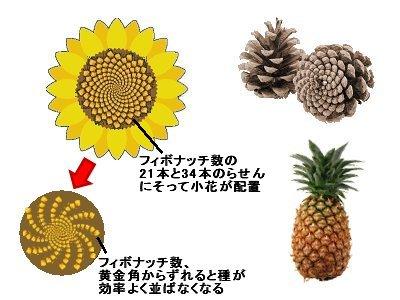 らせんの周回数がフィボナッチな植物