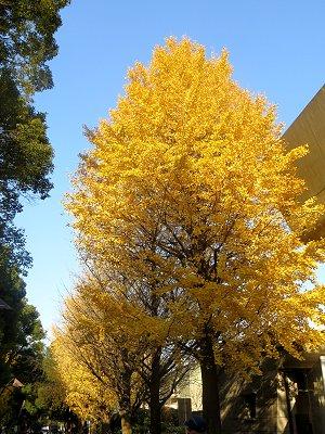 上野公園の立ち姿のいいイチョウ並木downsize