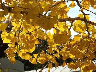 柔らかな陽に透けるイチョウの葉(多摩丘陵)downsize