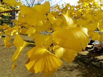 黄色い蝶のようなイチョウの葉(多摩丘陵 再掲)downsize