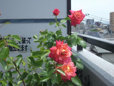 1アンネのバラ