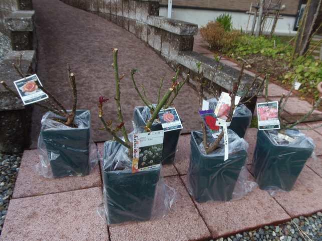 2014年2月15日バラ苗の定植