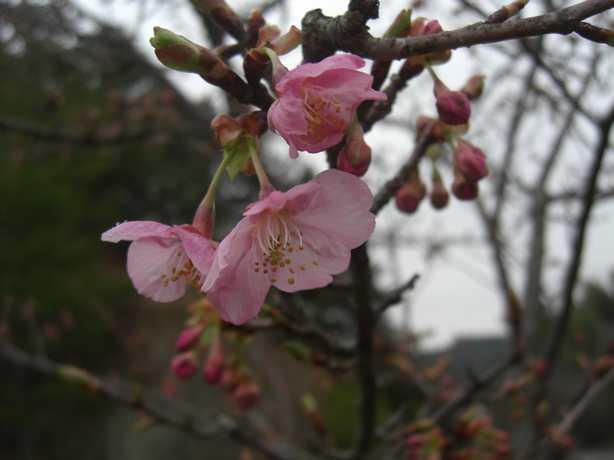 201431河津桜