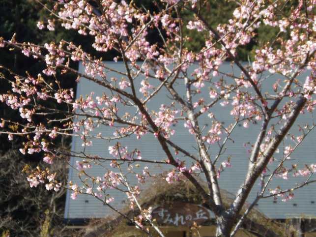 2012年3月11日河津桜
