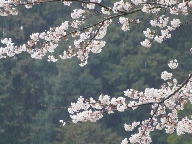 2014 3 29桜 満開