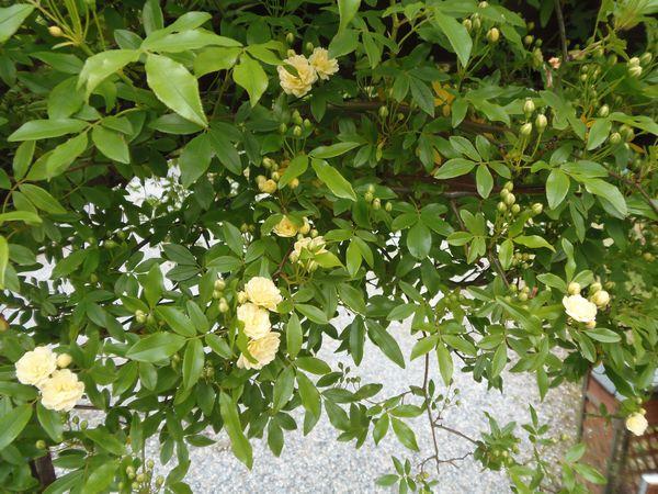 20140416 モッコウ薔薇