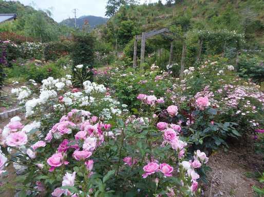 20140520 ガーデンに咲くバラ