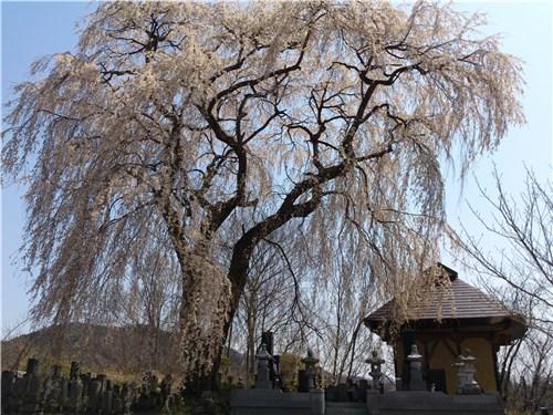 秋塚町十王堂のしだれ桜01-3 (20130414)