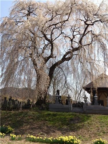 秋塚町十王堂のしだれ桜02-3 (20130414)