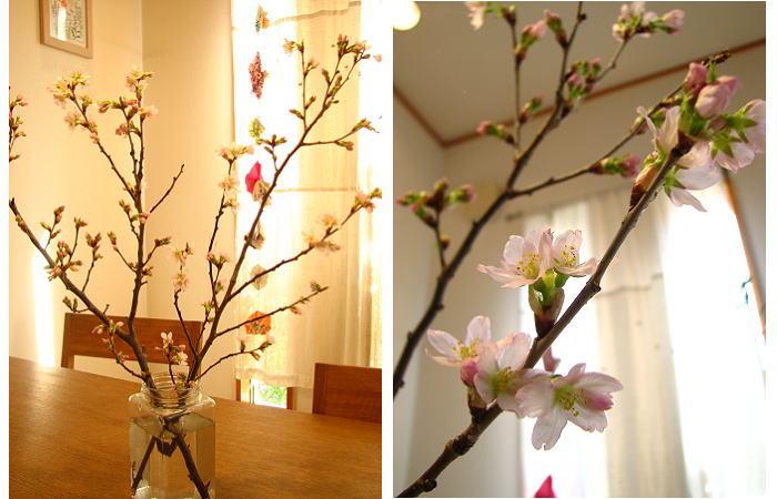 こちらも桜が開花!