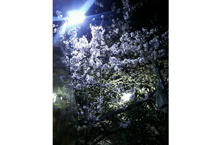 すでに桜満開