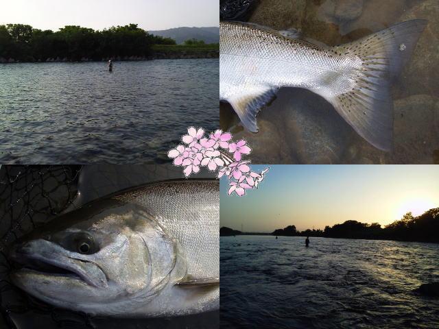 20140531kuzuryusakuramasu.jpg