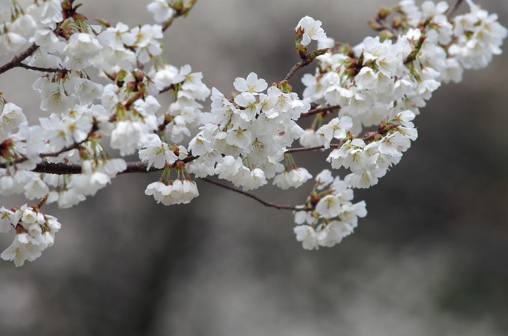 三隅 大平桜