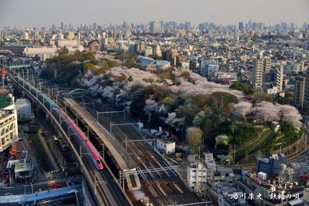 北とぴあ 飛鳥山桜