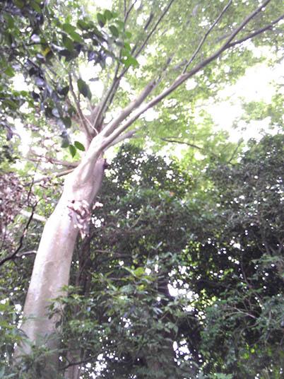 トトロの木上