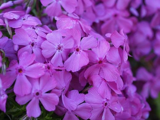 芝桜(ピンク)