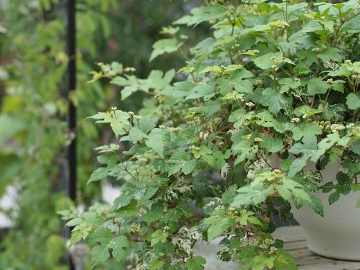 斑入り野葡萄