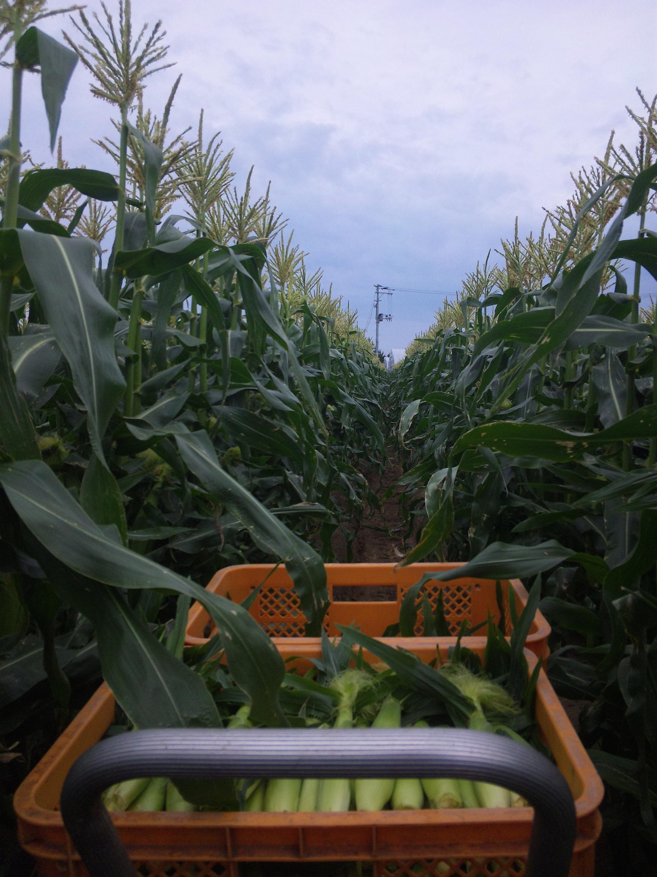 トウモロコシ収穫の様子