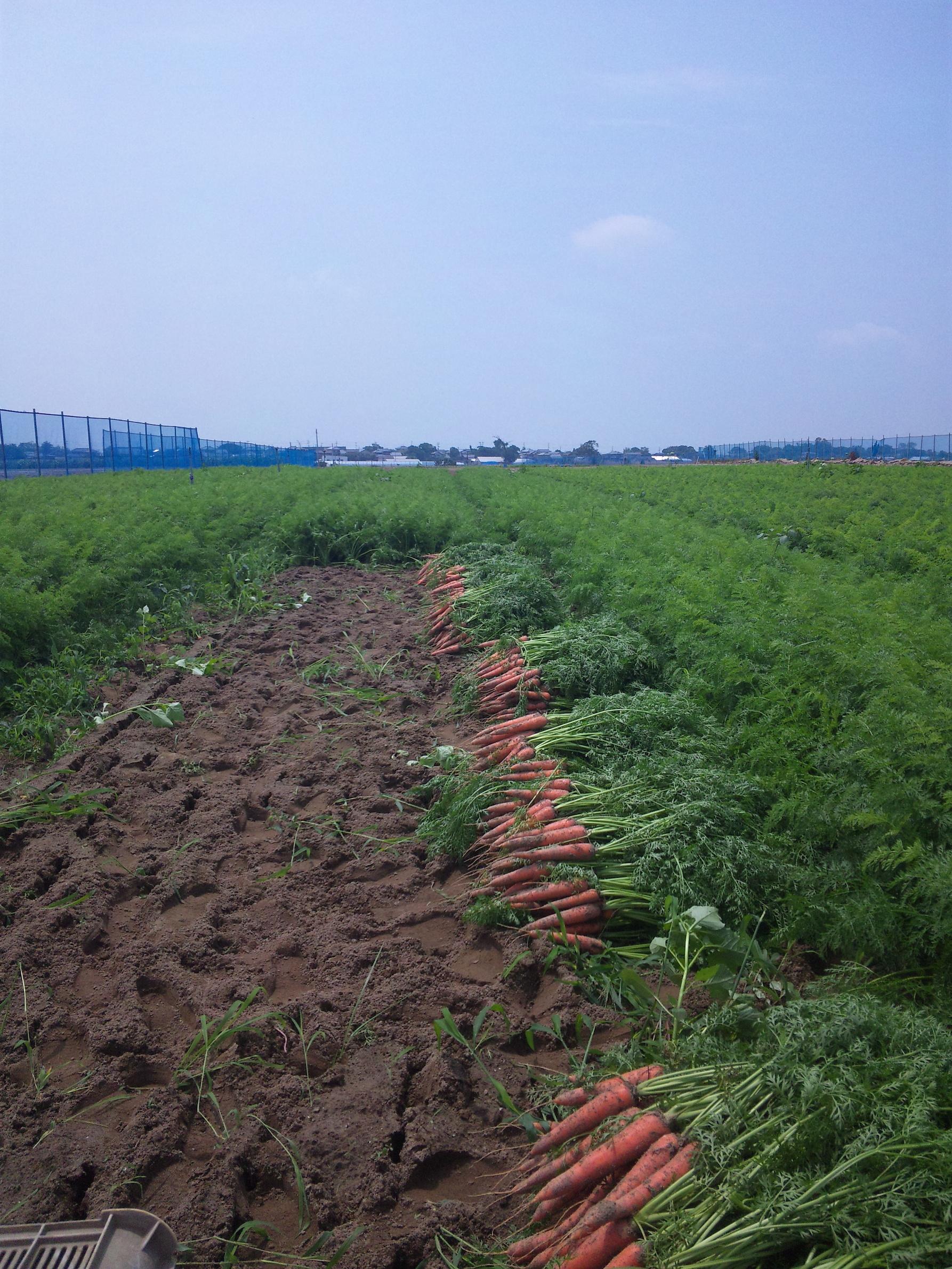 ニンジン収穫の様子