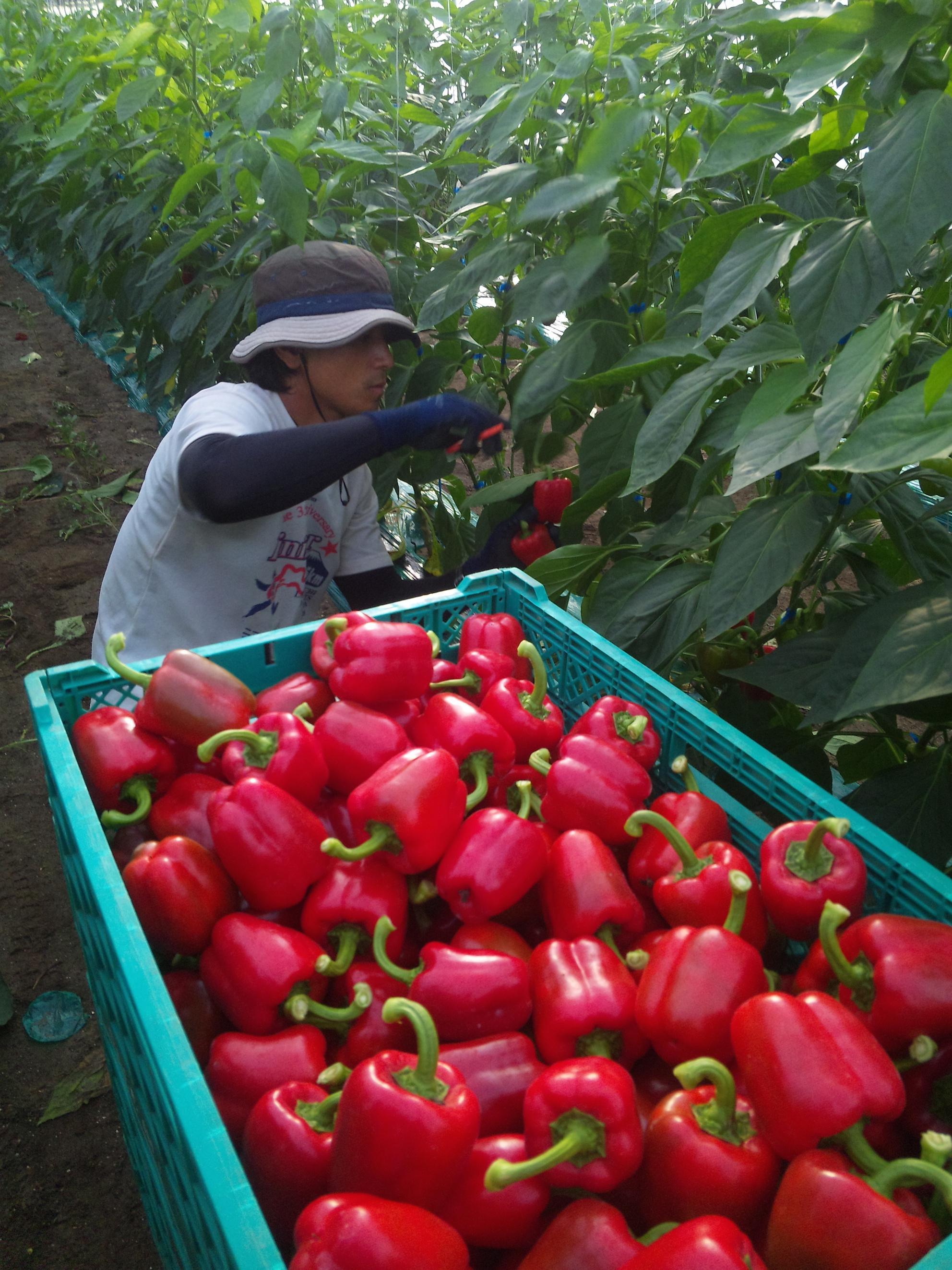 パプリカ収穫の様子
