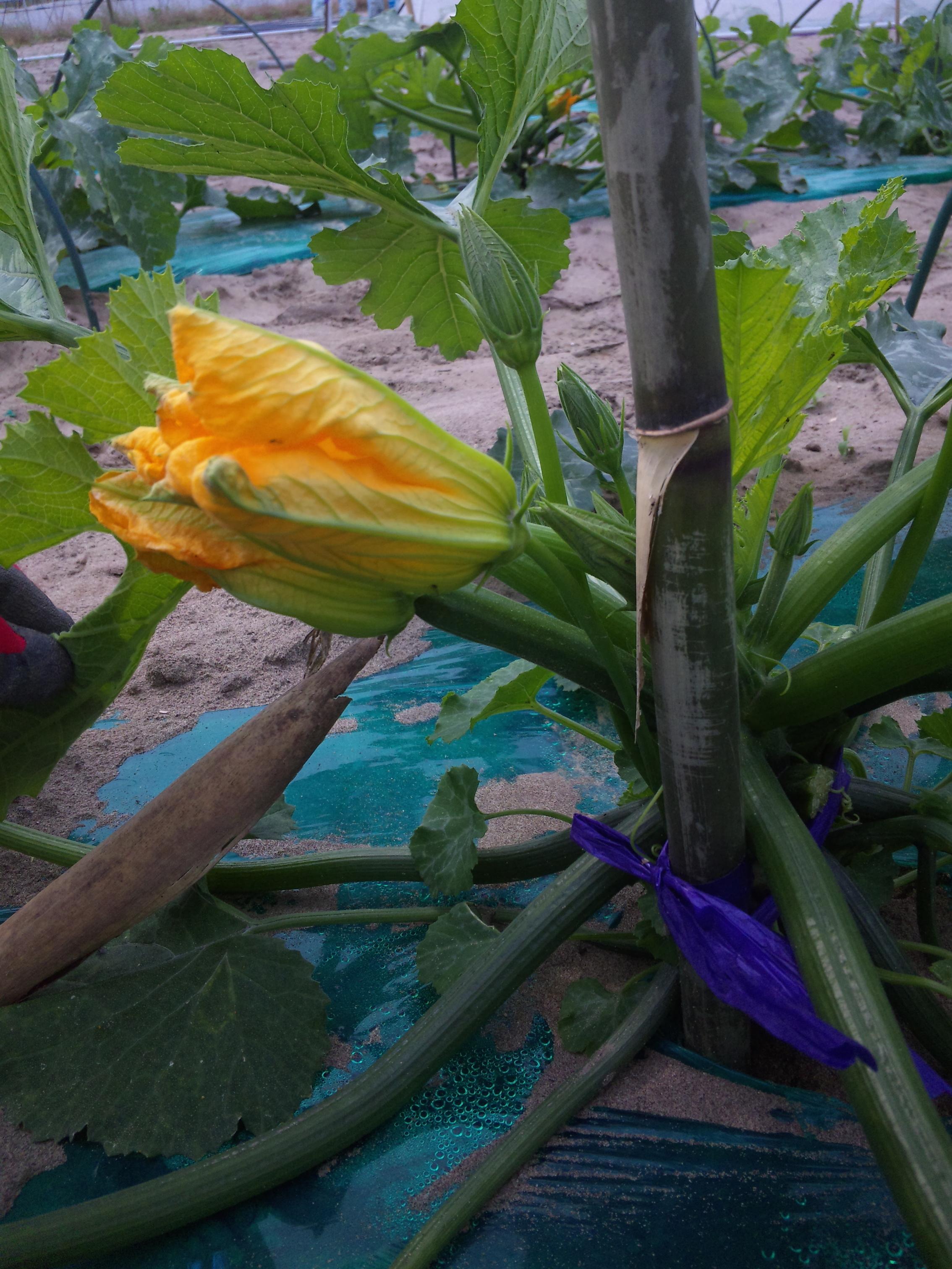 ズッキーニの雄花