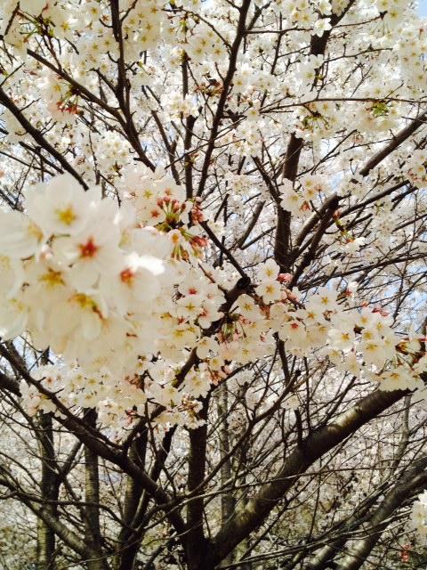 2014.桜4
