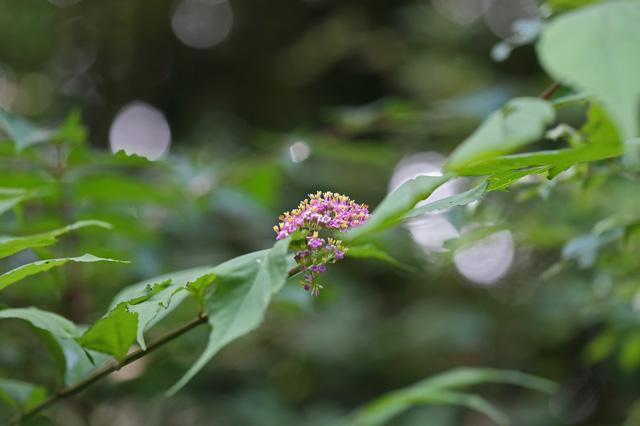ムラサキシキブ(紫式部)