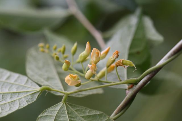 トキリマメ(吐切豆)