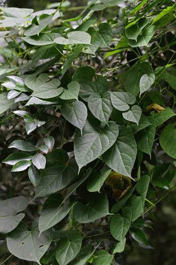イケマ(生馬)の葉