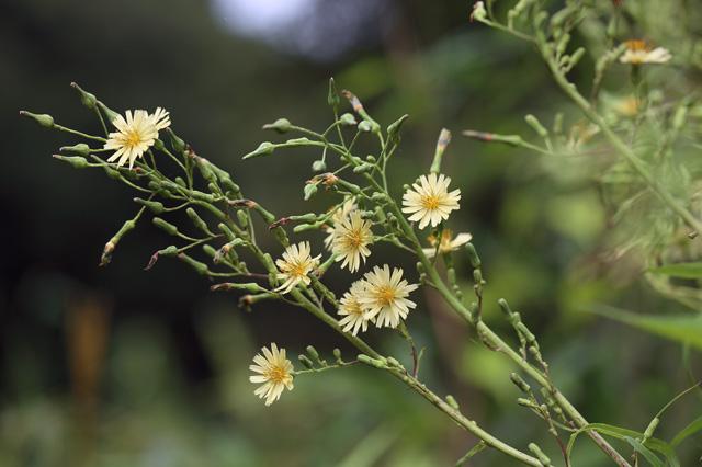 アキノノゲシ(秋の野芥子)