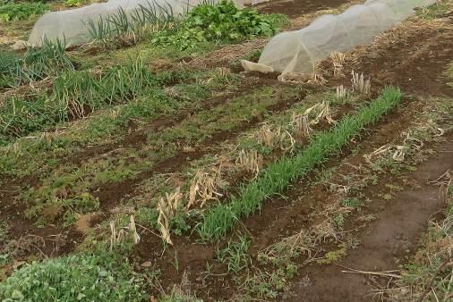 無耕起菜園