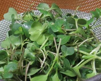 カイワレブロッコリー収穫物