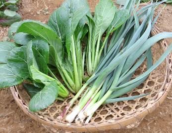 コマツナと葉ニンニク収穫物