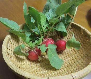 赤丸ラデッシュ収穫物
