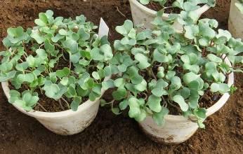 カイワレブロッコリー2種