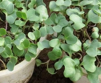 カイワレブロッコリー2種拡大