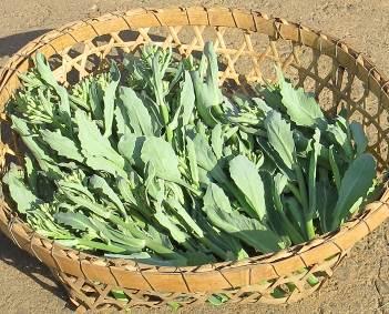 キャベツ茎立ち菜収穫物