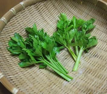セルリー2品種の収穫物