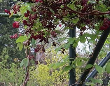 アケビの花3枚葉