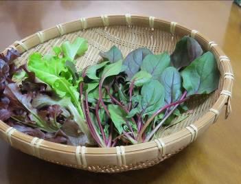 赤ホウレンソウ収穫物