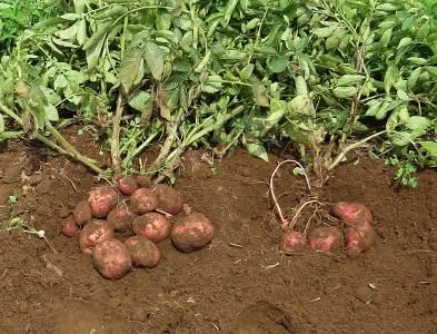 ジャガ緑肥施用とイモの太り