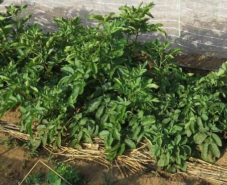 ジャガ緑肥施用後