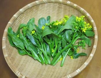 中国菜芯収穫物