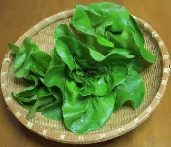 サラダナ収穫物