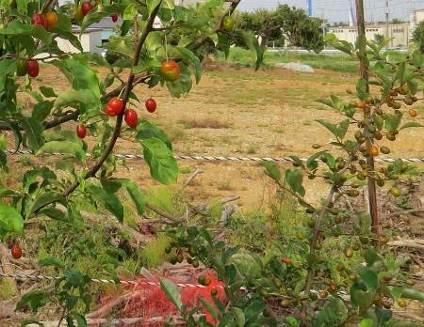 ビックリグミと西洋グミ菜園
