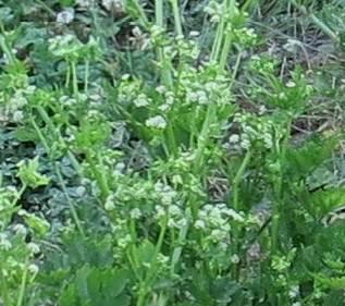 セルリーの花