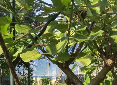 キウイ下部の新枝