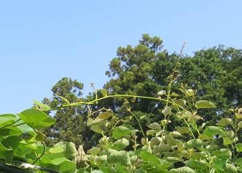 キウイ上部の新枝