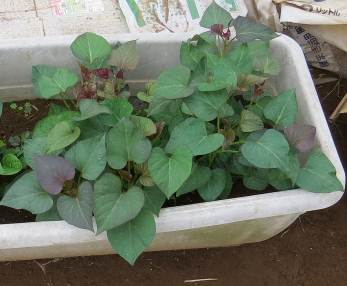 サツマイモ苗作り6月